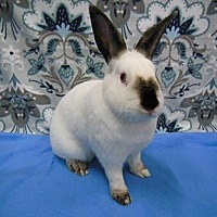 Adopt A Pet :: Jersey - Scotts Valley, CA