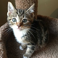 Adopt A Pet :: Olivia - Plainville, CT