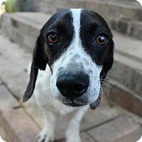 Adopt A Pet :: CALVIN - Southampton, NY