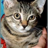 Adopt A Pet :: BUGLE - Frederick, MD