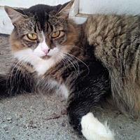 Adopt A Pet :: Aimee Lap Kitty - Syracuse area, NY
