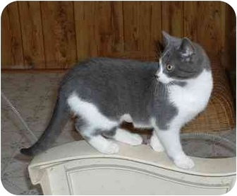 Domestic Shorthair Kitten for adoption in Makinen, Minnesota - Cupcake