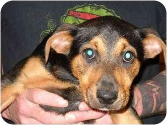 Labrador Retriever Mix Puppy for adoption in Broadway, New Jersey - Maggie