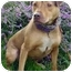 Photo 2 - German Shepherd Dog/Rhodesian Ridgeback Mix Dog for adoption in Berkeley, California - Nina