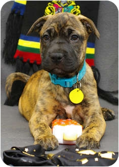 Boxer/Shepherd (Unknown Type) Mix Puppy for adoption in Westminster, Colorado - TONKS