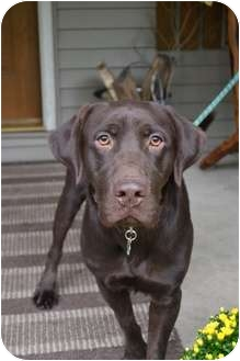 Labrador Retriever Mix Dog for adoption in Salem, Massachusetts - Hank