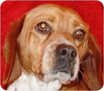 Beagle Mix Dog for adoption in Metamora, Indiana - Brooks