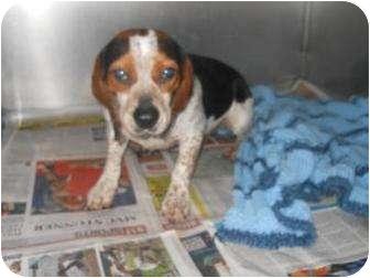Beagle Mix Dog for adoption in Edwardsville, Illinois - Tiny Tim