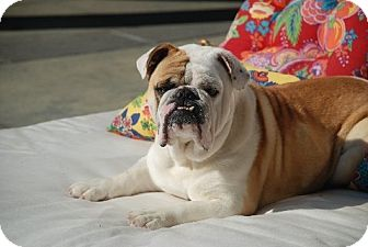 "English Bulldog Dog for adoption in Strongsville, Ohio - Muzzle Tough aka ""Muzzie"""