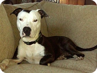 American Staffordshire Terrier/Hound (Unknown Type) Mix Dog for adoption in Long Beach, New York - Tucker