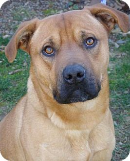 American Pit Bull Terrier Mix Dog for adoption in Red Bluff, California - Domino-URGENT