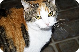 Domestic Shorthair Cat for adoption in Xenia, Ohio - Piper