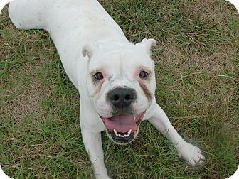 English Bulldog Mix Dog for adoption in Jersey City, New Jersey - Angelina Jolie