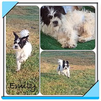 Terrier (Unknown Type, Small)/Shih Tzu Mix Dog for adoption in San Antonio, Texas - Emily