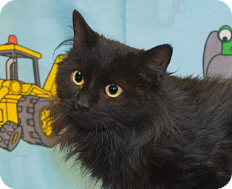 Domestic Longhair Cat for adoption in Elmwood Park, New Jersey - Lucy
