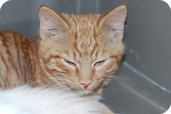 Domestic Shorthair Kitten for adoption in Buffalo, Wyoming - Bruce