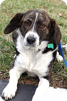 Hound (Unknown Type)/Australian Shepherd Mix Dog for adoption in Media, Pennsylvania - JOSIE DREAM GIRL