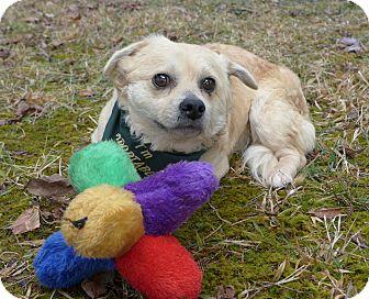 Spaniel (Unknown Type)/Corgi Mix Dog for adoption in Mocksville, North Carolina - Tatum
