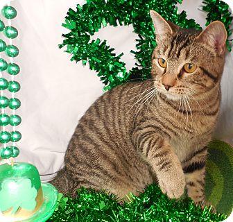 Domestic Shorthair Cat for adoption in Ocean Springs, Mississippi - Tigger