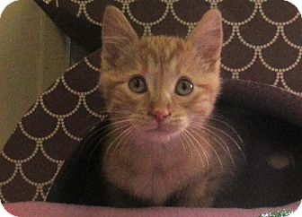 Domestic Shorthair Kitten for adoption in Lloydminster, Alberta - Club