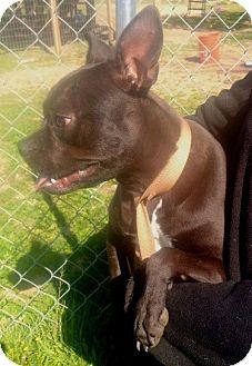 Boston Terrier/Labrador Retriever Mix Puppy for adoption in Murrieta, California - Annie Boston