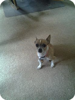 Chihuahua Dog for adoption in Upper Sandusky, Ohio - Polly