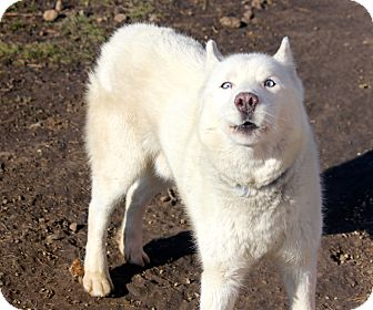 Siberian Husky Dog for adoption in Sycamore, Illinois - Waffles