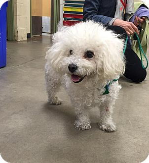 Bichon Frise Dog for adoption in Wilmington, Delaware - Donald