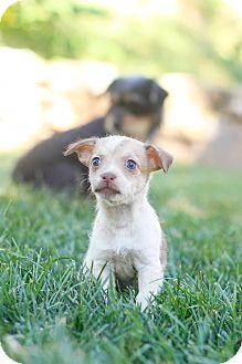 Dachshund/Terrier (Unknown Type, Medium) Mix Puppy for adoption in Auburn, California - Ginger