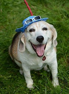 Beagle Mix Dog for adoption in Waldorf, Maryland - Max Howard