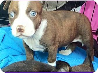 Australian Cattle Dog/Pit Bull Terrier Mix Puppy for adoption in Concord, California - Jacob