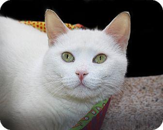 American Shorthair Cat for adoption in Rochester, New York - Alaska