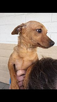 Chihuahua/Terrier (Unknown Type, Medium) Mix Dog for adoption in Fresno, California - Chiquita