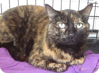 Domestic Shorthair Cat for adoption in Colville, Washington - Honey