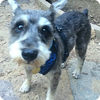 Oak Ridge Nj Schnauzer Miniature Mix Meet Mylo A Dog For Adoption