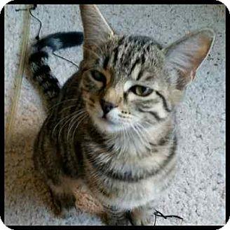 Domestic Shorthair Kitten for adoption in Colorado Springs, Colorado - Kiko