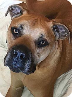 Mastiff Mix Dog for adoption in Oswego, Illinois - Titan