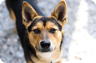 Jindo Mix Dog for adoption in Bryson City, North Carolina - Toby