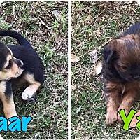Adopt A Pet :: Yaar - Freeport, ME