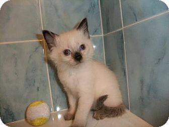 Siamese Kitten for adoption in Orlando, Florida - cashmere