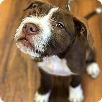 Adopt A Pet :: LL Cool J - Dayton, OH