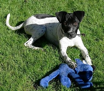 German Shorthaired Pointer Mix Dog for adoption in Los Angeles, California - Belle