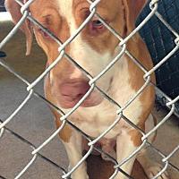 Adopt A Pet :: PETE C-17-235 - Chester, SC
