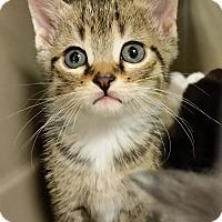 Adopt A Pet :: Bellatrix - Toast, NC