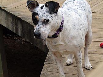 Australian Cattle Dog/Dalmatian Mix Dog for adoption in Washington, D.C. - Sunny