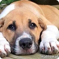 Adopt A Pet :: Laurel in NY - new pup! - Beacon, NY
