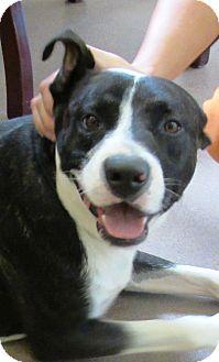 American Pit Bull Terrier Mix Dog for adoption in Sierra Vista, Arizona - Rocky