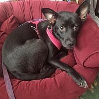 Adopt A Pet :: LIZZY - NYC, NY