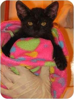 Domestic Shorthair Kitten for adoption in Miami Beach, Florida - Fernando