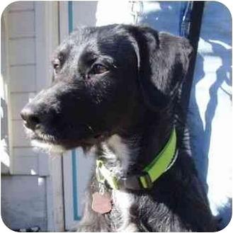 Labrador Retriever/Deerhound Mix Dog for adoption in Berkeley, California - Gus